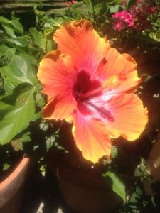 one of the several hibiscus near the cottage