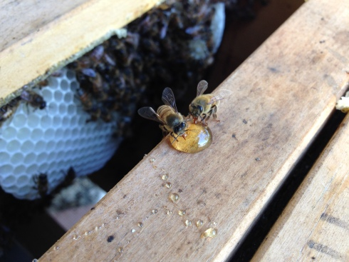 bees cleaning up honey