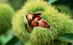 chestnut-20115-400x250